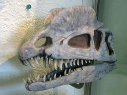 Crâne de Dilophosaurus. Source : http://data.abuledu.org/URI/51229499-crane-de-dilophosaurus
