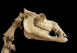 Crâne de dromadaire. Source : http://data.abuledu.org/URI/583904c0-crane-de-dromadaire