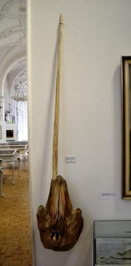 Crâne de narval. Source : http://data.abuledu.org/URI/5378cd03-crane-de-narval