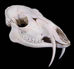 Crâne de porte-musc de Sibérie. Source : http://data.abuledu.org/URI/5367bc25-crane-de-porte-musc-de-siberie