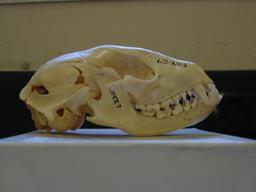 Crâne de raton laveur. Source : http://data.abuledu.org/URI/52d8222f-crane-de-raton-laveur