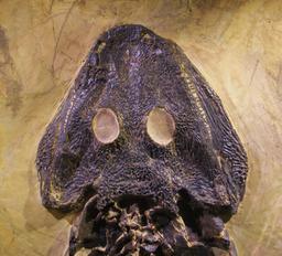 Crane fossile de Sclerocephalus. Source : http://data.abuledu.org/URI/563b2d0b-crane-fossile-de-sclerocephalus