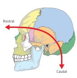 Crâne humain. Source : http://data.abuledu.org/URI/531af961-crane-humain