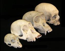 Crânes de 4 mammifères primates. Source : http://data.abuledu.org/URI/50ecb5af-cranes-de-4-mammiferes-primates