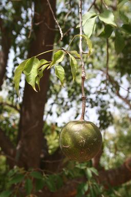 Crateva adansonii. Source : http://data.abuledu.org/URI/548a093d-crateva-adansonii