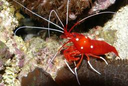 Crevette. Source : http://data.abuledu.org/URI/50572625-crevette