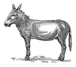 Croquis d'âne. Source : http://data.abuledu.org/URI/53ecd7b6-croquis-d-ane