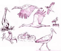 Croquis de cigognes blanches. Source : http://data.abuledu.org/URI/54eceef8-croquis-de-cigognes-blanches