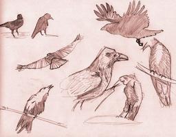 Croquis de corbeaux. Source : http://data.abuledu.org/URI/54ecea36-croquis-de-corbeaux