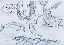 Croquis de dauphins. Source : http://data.abuledu.org/URI/54eceb0b-croquis-de-dauphins