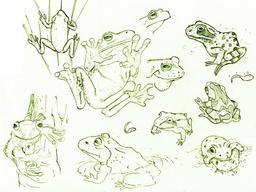 Croquis de grenouilles et de têtards. Source : http://data.abuledu.org/URI/54ecefc2-croquis-de-grenouilles-et-de-tetards
