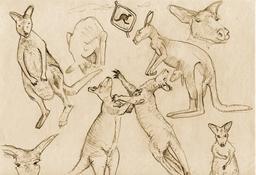 Croquis de Kangourous. Source : http://data.abuledu.org/URI/54eceb84-croquis-de-kangourous