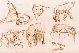 Croquis de loups. Source : http://data.abuledu.org/URI/54ecee27-croquis-de-loups