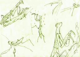 Croquis de mantes religieuses. Source : http://data.abuledu.org/URI/54eced0c-croquis-de-mantes-religieuses