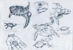 Croquis de tortues. Source : http://data.abuledu.org/URI/54ececb2-croquis-de-tortues