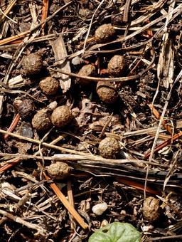 Crottes de lapins de garenne. Source : http://data.abuledu.org/URI/53052eee-crottes-de-lapins-de-garenne