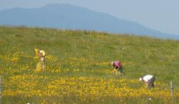 Cueillette d'arnica dans les Vosges. Source : http://data.abuledu.org/URI/5436a731-cueillette-d-arnica-dans-les-vosges