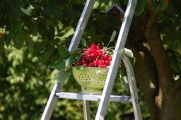 Cueillette de cerises en juillet. Source : http://data.abuledu.org/URI/59090dd7-cueillette-de-cerises-en-juillet