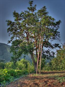Cueillette des cerises. Source : http://data.abuledu.org/URI/537d2ba2-cueillette-des-cerises
