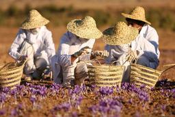 Cueilleurs de safran en Iran. Source : http://data.abuledu.org/URI/5497e1e2-cueilleurs-de-safran-en-iran