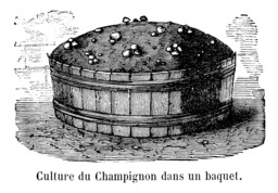 Culture de champignons de Paris. Source : http://data.abuledu.org/URI/532d5b4b-culture-de-champignons-de-paris