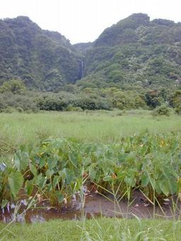 Culture du Taro. Source : http://data.abuledu.org/URI/529bba76-culture-du-taro-