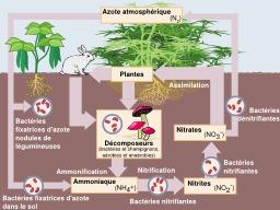 Cycle de l'azote dans le sol. Source : http://data.abuledu.org/URI/50c7c336-cycle-de-l-azote-dans-le-sol
