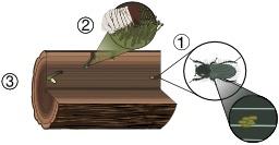 Cycle de vie d'un coléoptère. Source : http://data.abuledu.org/URI/55eaae51-cycle-de-vie-d-un-coleoptere