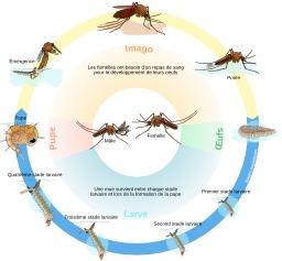 Cycle de vie d'un moustique. Source : http://data.abuledu.org/URI/52906d5f-cycle-de-vie-d-un-moustique