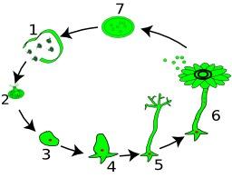 Cycle de vie de l'acétabulaire. Source : http://data.abuledu.org/URI/52b0c91c-cycle-de-vie-de-l-acetabulaire