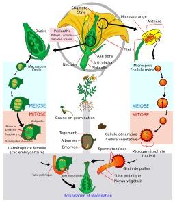 Cycle de vie des Angiospermes. Source : http://data.abuledu.org/URI/50df6199-cycle-de-vie-des-angiospermes