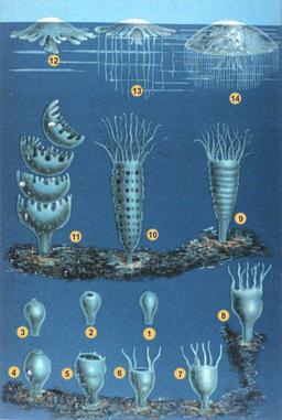 Cycle de vie des méduses. Source : http://data.abuledu.org/URI/530dcb2e-cycle-de-vie-des-meduses