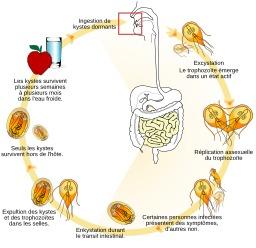 Cycle de vie du parasite Giardia lamblia. Source : http://data.abuledu.org/URI/52907bb4-cycle-de-vie-du-piararasite-giardia-lamblia