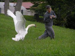 Cygne attaquant un photographe japonais. Source : http://data.abuledu.org/URI/5335f81f-cygne-attaquant-un-photographe-japonais