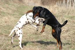 Dalmatien et Dobermann. Source : http://data.abuledu.org/URI/516a41cc-dalmatian-et-dobermann
