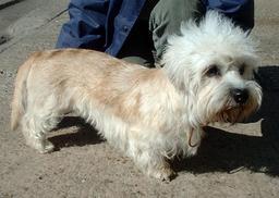 Dandie Dinmont Terrier. Source : http://data.abuledu.org/URI/516a451c-dandie-dinmont-terrier