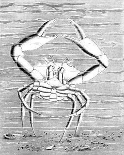 Danse de crabe. Source : http://data.abuledu.org/URI/517ec554-danse-de-crabe