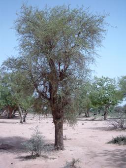 Dattiers du désert. Source : http://data.abuledu.org/URI/548719c3-datiers-du-desert
