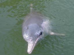 Dauphin blanc de Chine. Source : http://data.abuledu.org/URI/5061c367-dauphin-blanc-de-chine