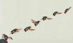 Décollage d'un coléoptère. Source : http://data.abuledu.org/URI/52bf56fe-decollage-d-un-coleoptere