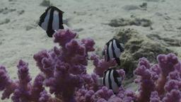 Demoiselle à trois bandes noires. Source : http://data.abuledu.org/URI/5545d441-demoiselle-a-trois-bandes-noires