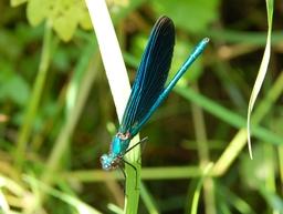Demoiselle au repos, ailes repliées. Source : http://data.abuledu.org/URI/47f3aed0-demoiselle-au-repos-ailes-repli-es