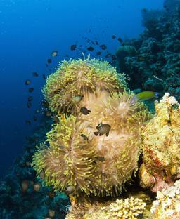 Demoiselles à trois points et anémone magnifique en Mer Rouge. Source : http://data.abuledu.org/URI/5539eb93-demoiselles-a-trois-points-et-anemone-magnifique-en-mer-rouge
