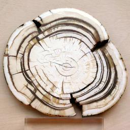 Dent de mammouth. Source : http://data.abuledu.org/URI/5020ca1c-dent-de-mammouth