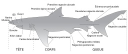 Descriptif du requin. Source : http://data.abuledu.org/URI/52d838b2-descriptif-du-requin