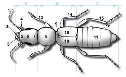 Description d'un coléoptère. Source : http://data.abuledu.org/URI/5413f26a-description-d-un-coleoptere