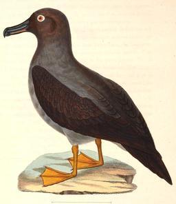 Dessin d'albatros en 1838. Source : http://data.abuledu.org/URI/54e645dc-dessin-d-albatros-en-1838
