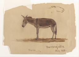 Dessin d'âne de profil. Source : http://data.abuledu.org/URI/54a15c96-dessin-d-ane-de-profil