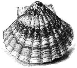 Dessin de coquille Saint-Jacques. Source : http://data.abuledu.org/URI/5460fb47-dessin-de-coquille-saint-jacques