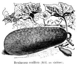 Dessin de courge cireuse. Source : http://data.abuledu.org/URI/544f2147-dessin-de-courge-cireuse